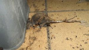 dead_rat